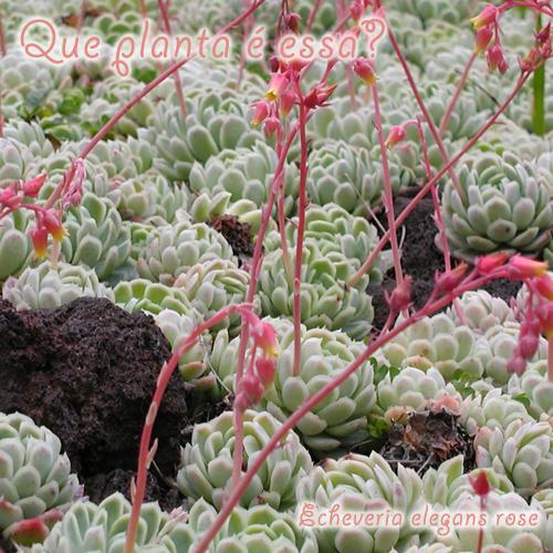 Echeveria-elegans-Rose
