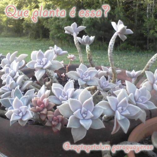 Graptopetalum paraguayense – plantafantasma